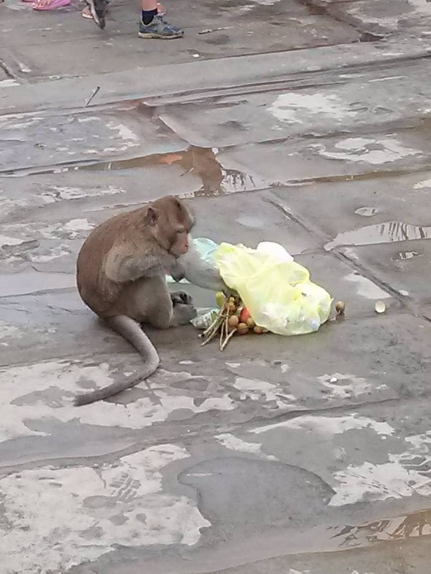 The Monkey Thief Enjoying Fruits